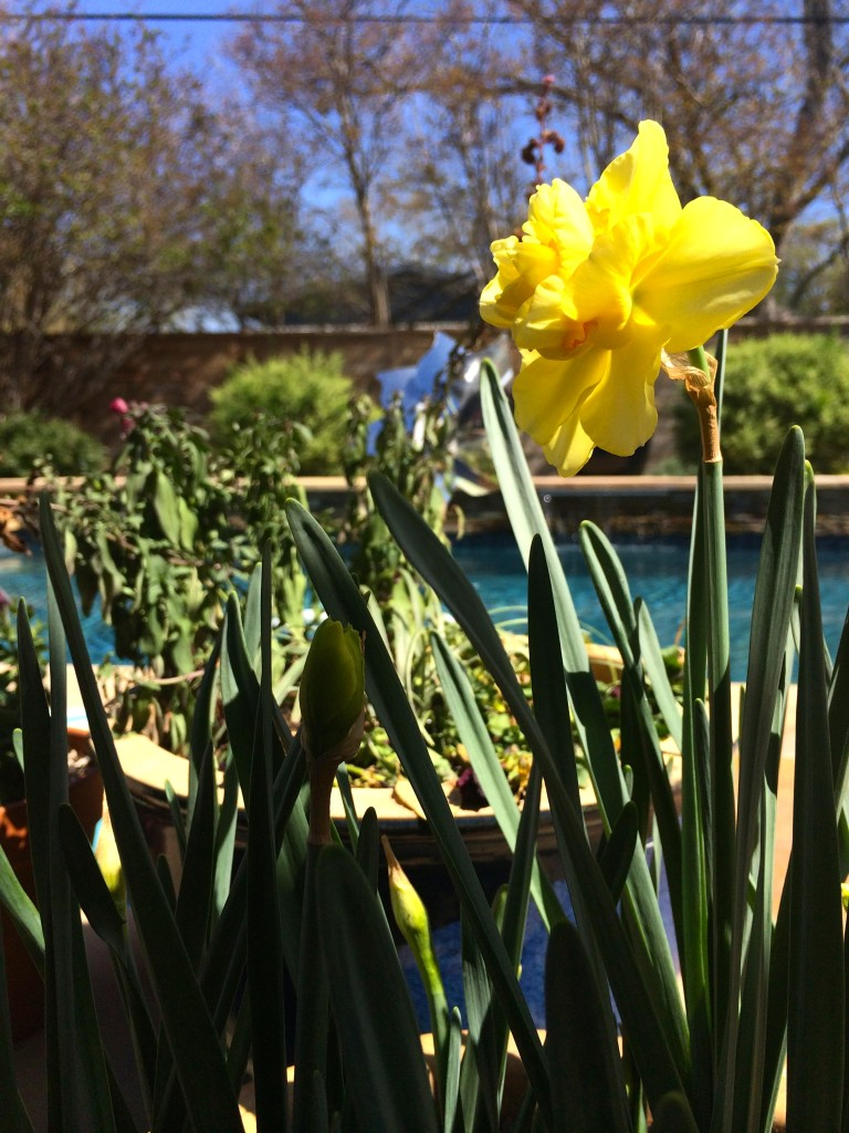 Daffodil bloom on Lil's birthday