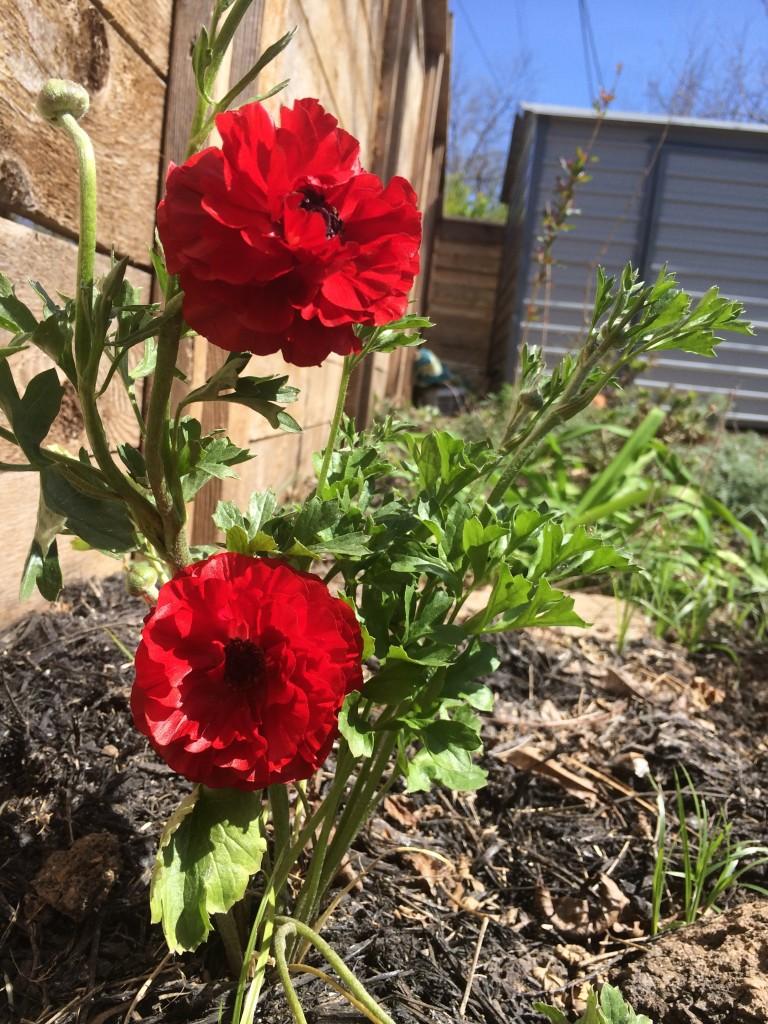 red rununculus