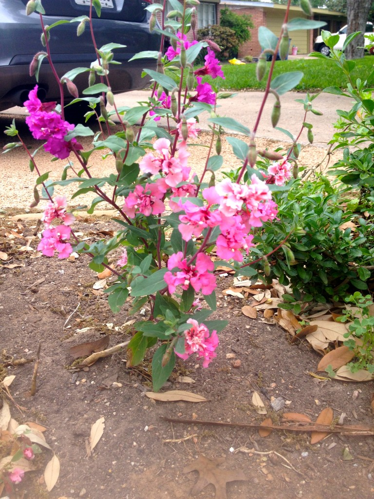 Mystery plant pink
