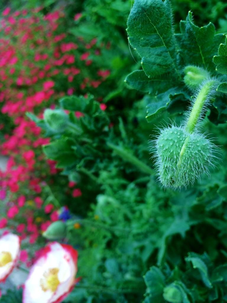 Poppy bud II