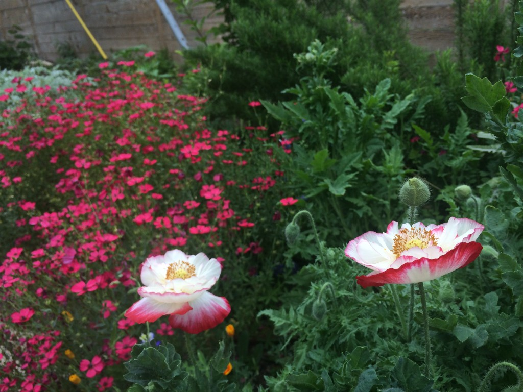Two poppies with red flox