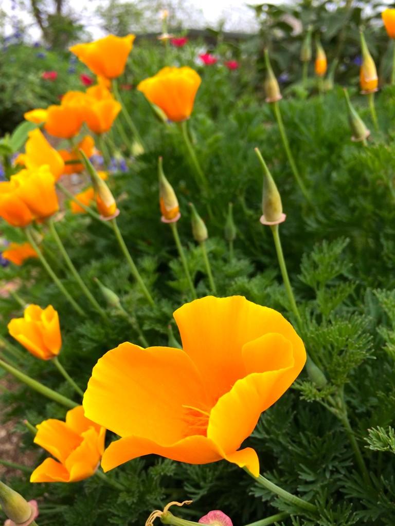 multiple orange poppy