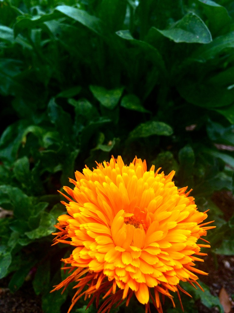 orange bloom