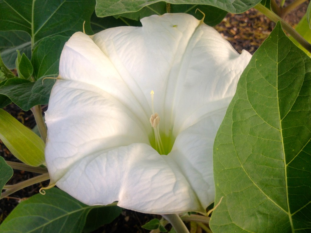Moonflower II