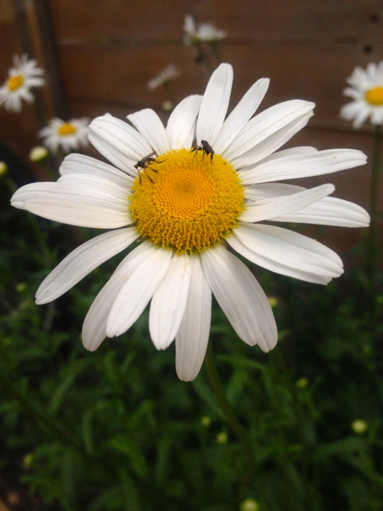 daisy bug II