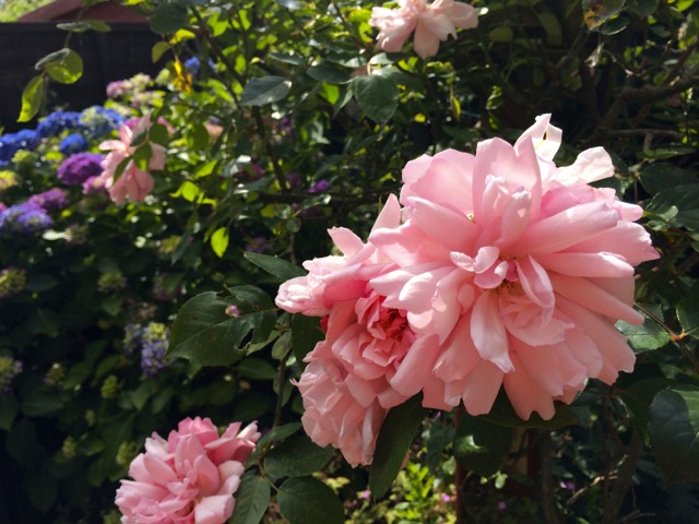 Family Pink rose a