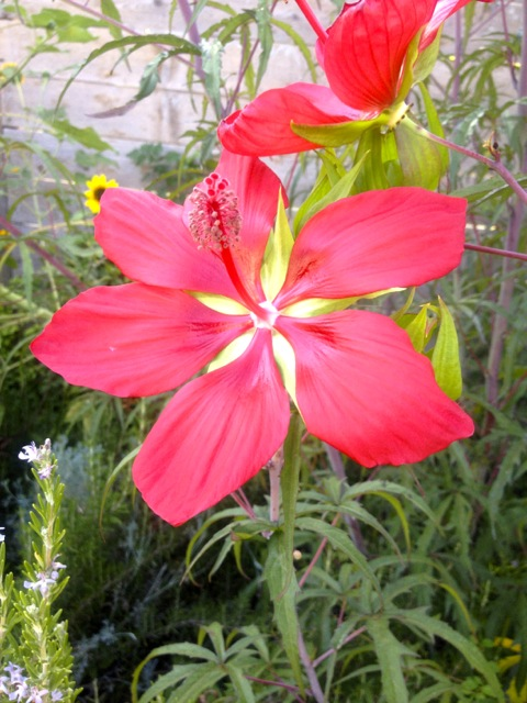 texas star hibiscus red