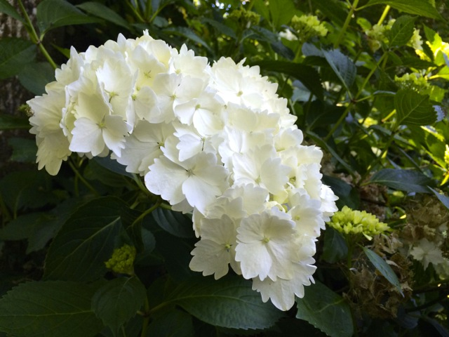 white rodendendum
