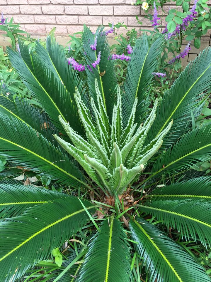 Sago Palm full