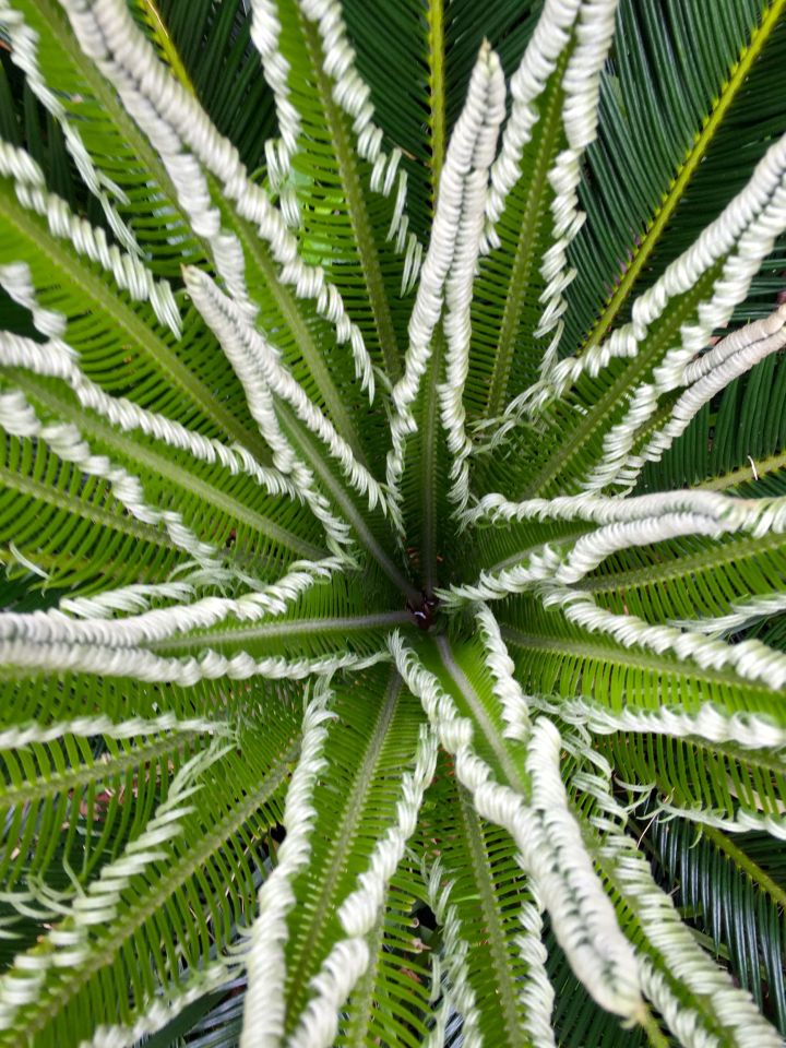 Sago Palm star