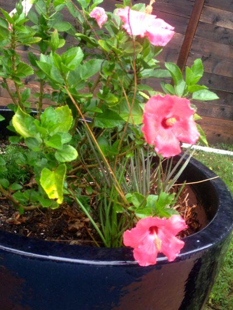 hibiscus iV