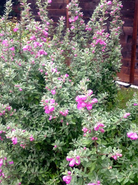 mexican sage I