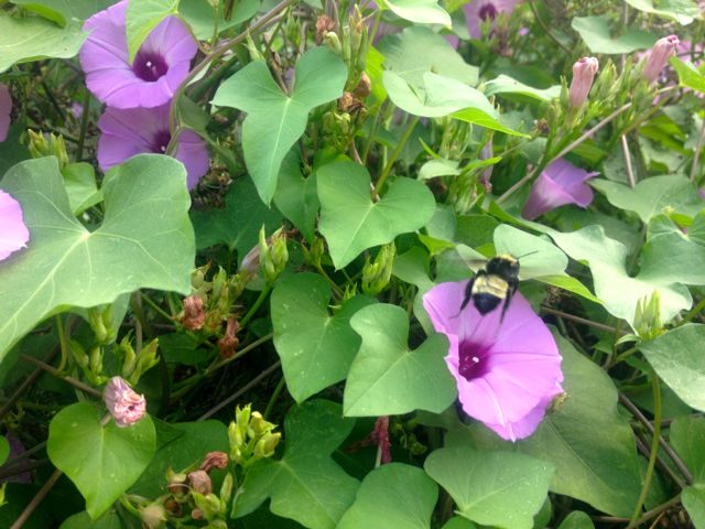 morning glory bumble bee