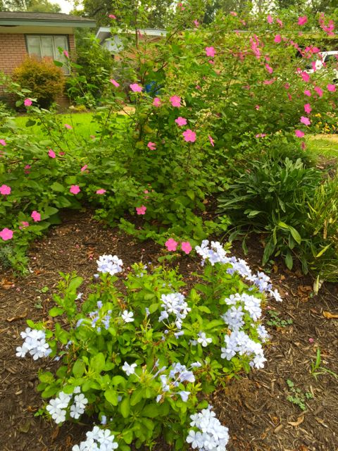 rock rose plumbago transplants