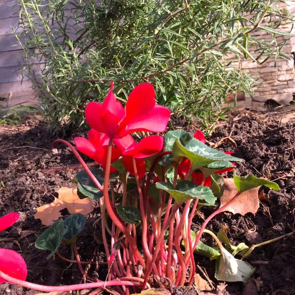 Cyclamen rhubarb