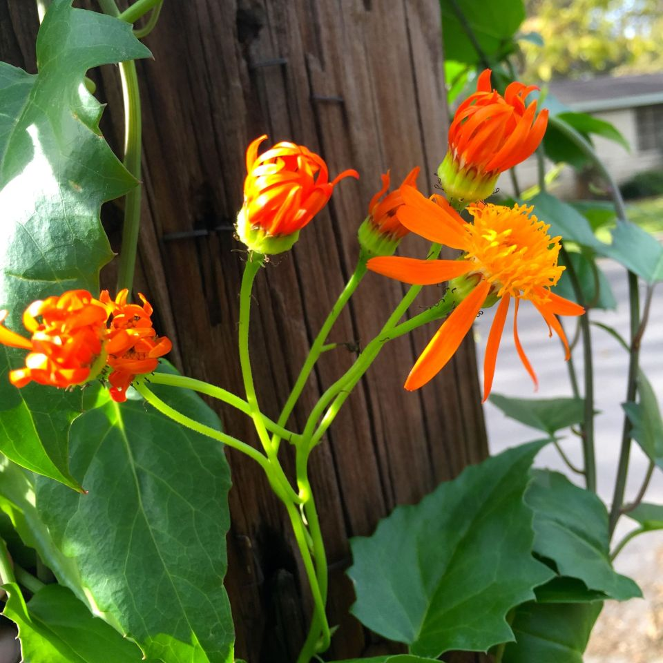 Mexican Flame Vine I