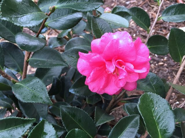 first camellia bloom