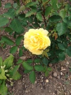 katies molinuex rose