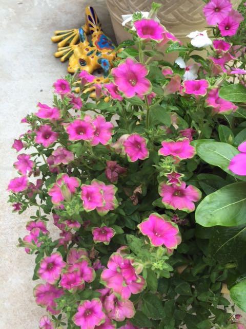 pink and green petunia