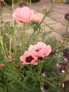 pink poppy from jennifer